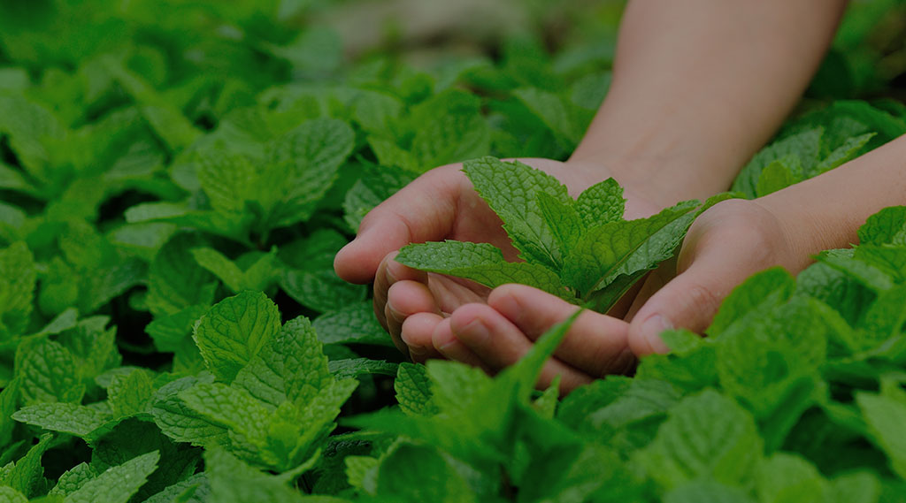 someone holding fresh mint in their hands