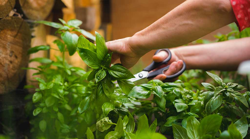 Harvesting basil - We ensure excellent product quality for our customers